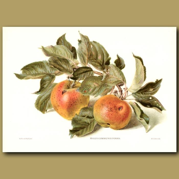 Antique print. Apples