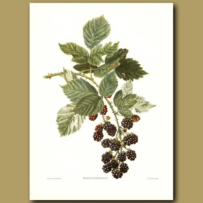 Antique print. Blackberries