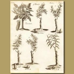 Tamarinds, Citron Myrobalans, Indian, Chebulick, Emblick, Bellerick