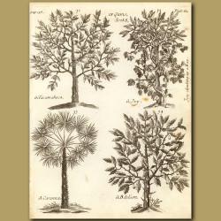 Gums: Tacamahaca, Ivy, Caranna, Delium