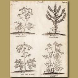 Ethiopian Cumin, Treacle Mustard, Wild Carrot Of Candia And Caraway
