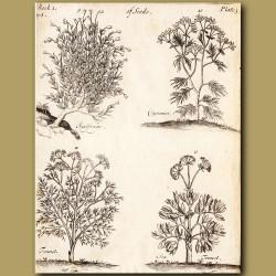Saxifrage, Cummin, Fennel And Sea-Fennel