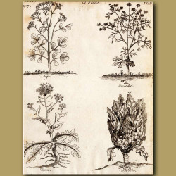 Aniseed, Coriander, Naven And Cauliflower