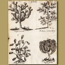 Cochineal Cactus (Cochenille), Scarlet-Berry, The Raisin Amomum And Rose Of Jericho