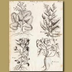 The True Rhubarb, Mountain Rhubarb, Jalap And Mechoacan