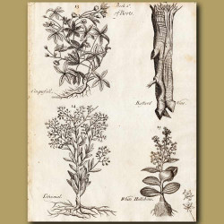 Cinquefoil, Barstard Vine, Tithymal And White Hellebore