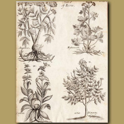 Angelica, Masternvort, Gentian And White Dittanny