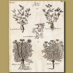 Long Birth-Wort, Clemantile Birth-Wort, Small Birth-Wort,Pellitory Of Wall And Another Pellitory