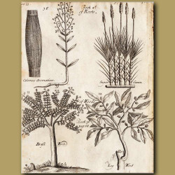 Calomus Aromaticus, Sugar Canes, Brazil Wood And Log Wood