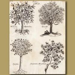 Mastic Tree, Tamarisks, Sassafras And Holy Wood