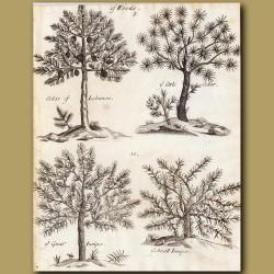 Cedar Of Lebanon, Little Cedar, Great Juniper And Small Juniper