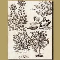 Fustic Wood, China Anise, Cinnamon, Wild Cinnamon, Clove Cinnamon, White Cinnamon
