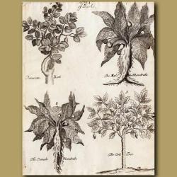 Peruvian Bark, The Male Mandrake, The Female Mandrake And The Cork Tree