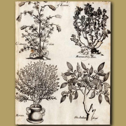 Dittanny Of Crete, Mountain Poley Hair, Marum And The Indian Leaf