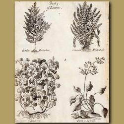 Golden Maidenhair, Common Maidenhair, Bindweed And Sea Green