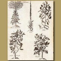 Dyers Herb, Woad,Woad,Curriers Sumack And Turnfole