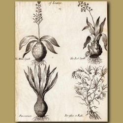 The White Squill, The Red Squill, Pancratium And Kali