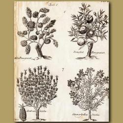 Wild Pomegranate, Domestic Pomegranate, Arabian Stachas And Citron