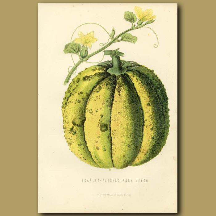 Antique print. Rock Melon