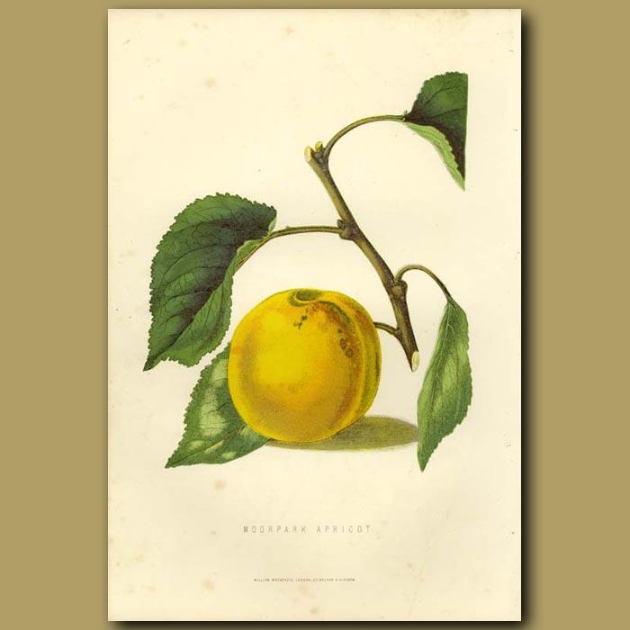 Antique print. Apricot