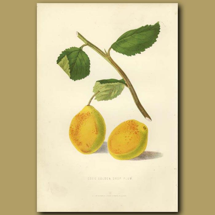 Antique print. Golden Plums