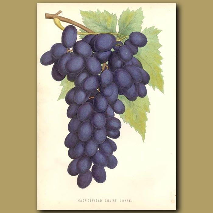 Antique print. Purple Grapes