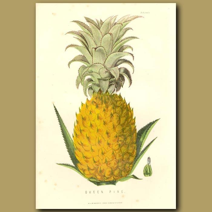 Antique print. Queen Pineapple