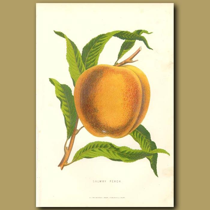 Antique print. Peach
