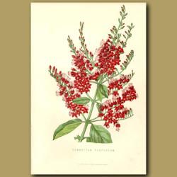 Combretum Flowers