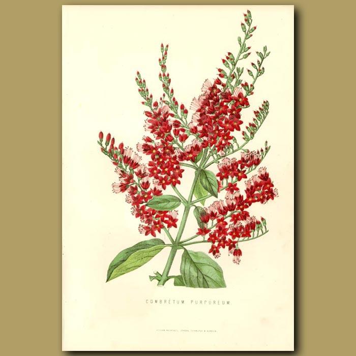 Antique print. Combretum Flowers