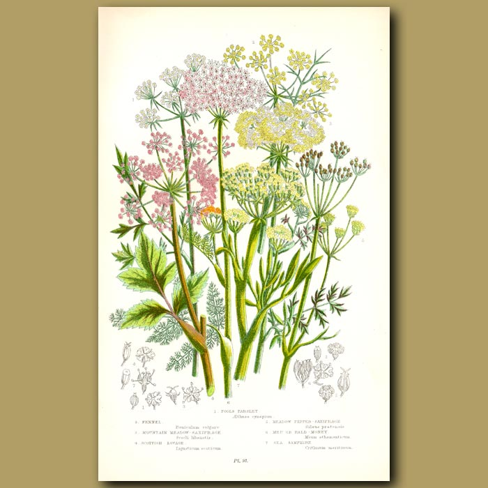 Antique print. Fools Parsley, Fennel, Saxifrage and Sea Samphire