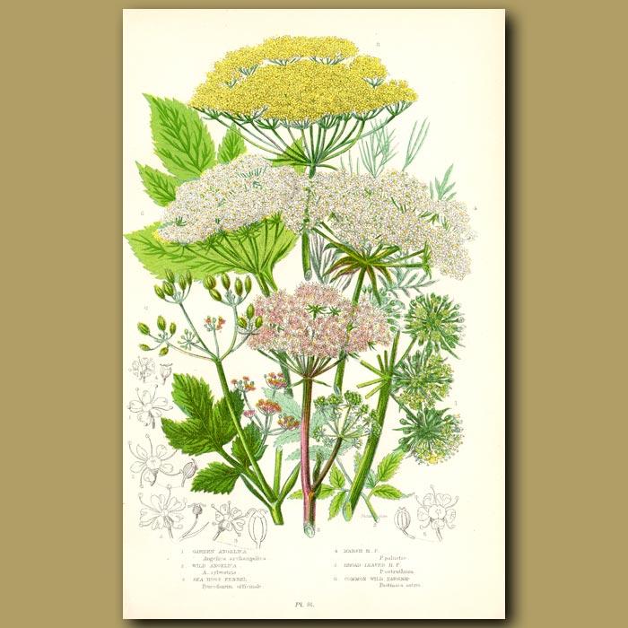 Antique print. Garden Angelica, Fennel and Wild Parsnip