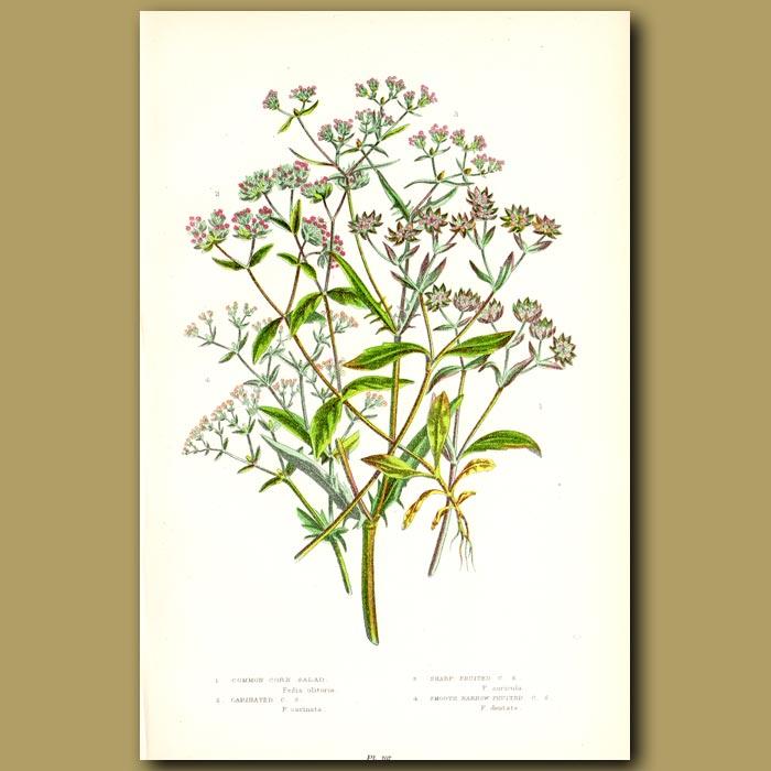 Antique print. Corn Salad flowers