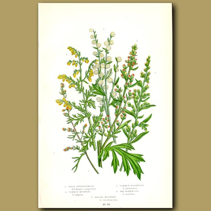 Antique print. Southernwood, Wormwood and Mugwort