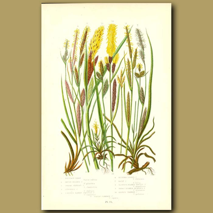 Antique print. Carex
