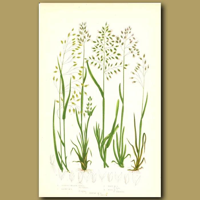Antique print. Meadow Grass
