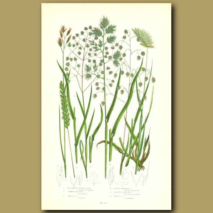 Antique print. Heath Grass, Quaking Grass and Dogstail Grass