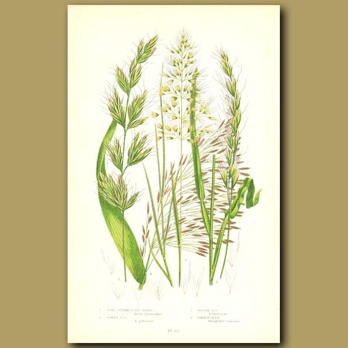 Antique print. Oat Grass