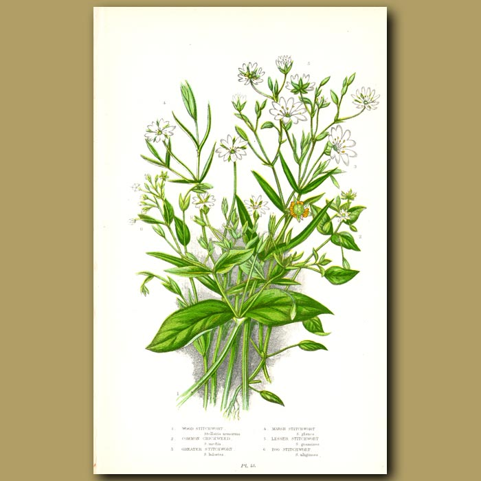 Antique print. Stichwort and Chickweed flowers