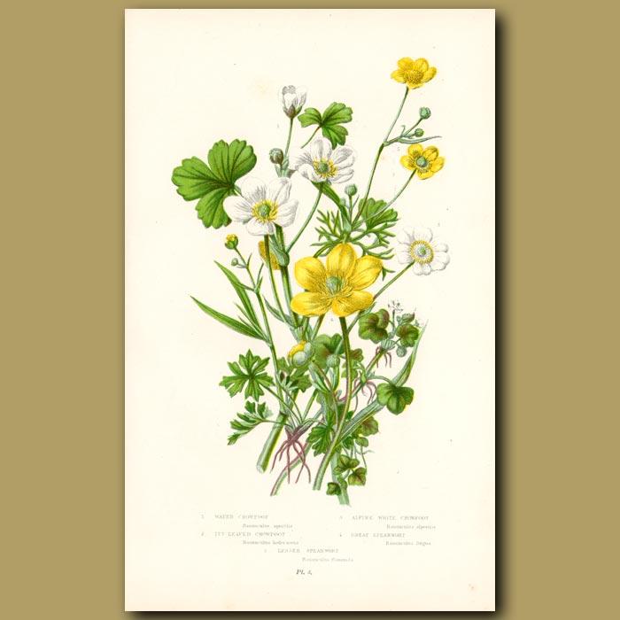 Antique print. Crowfoot flowers