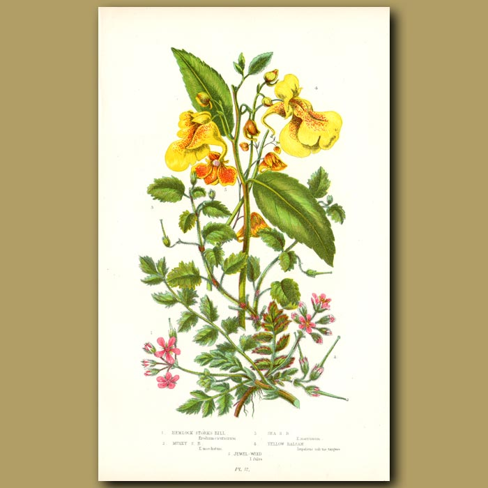 Antique print. Hemlock Storks Bill and Yellow Balsam