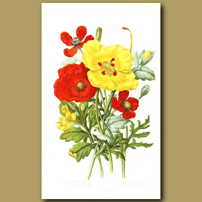 Antique print. Poppies