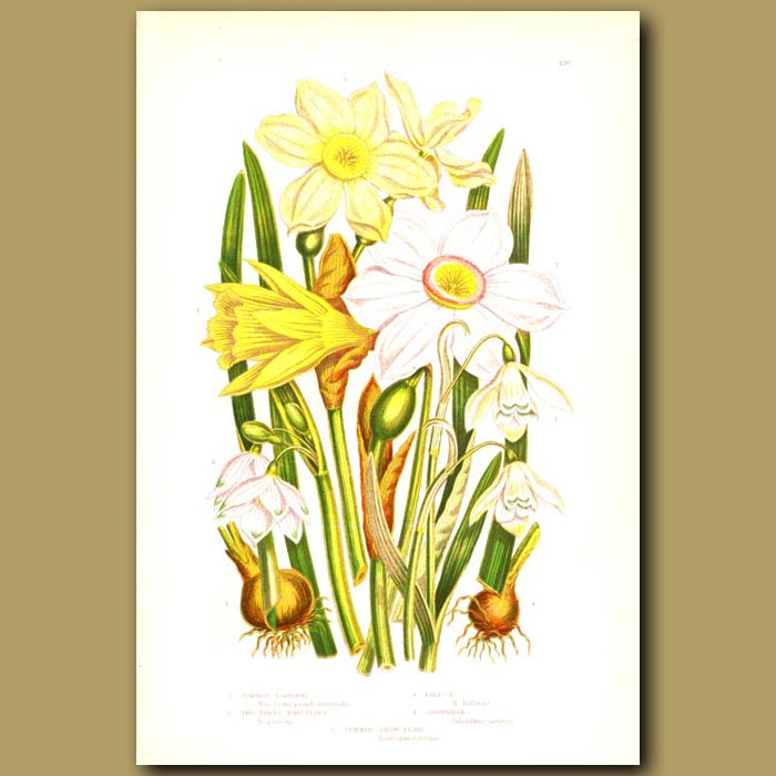 Antique print. Common Daffodil, The Poet's Narcissus, Pale Narcissu and Snowdrop