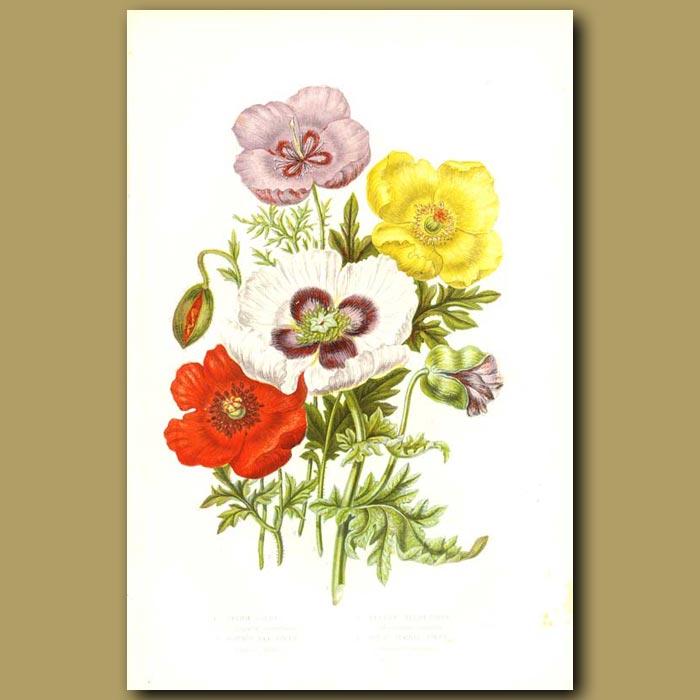 Antique print. Opium Poppy, Common Red Poppy, Yellow Welsh Poppy and Violet Horned Poppy