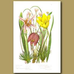 Mountain Lloydia, Wild Tulip, Snakes Head, Meadow Saffron