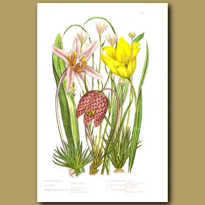 Antique print. Mountain Lloydia, Wild Tulip, Snakes Head, Meadow Saffron