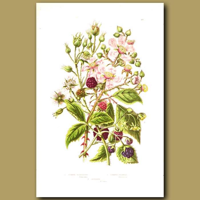 Antique print. Common Raspberry, Bramble and dewberry
