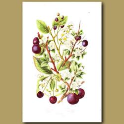 Sloe, Bullace, Plum and Bird Cherry