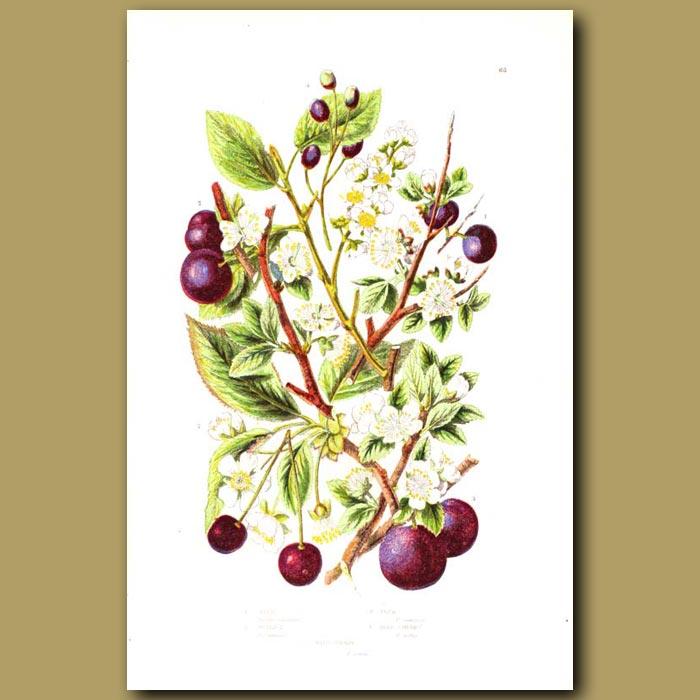 Antique print. Sloe, Bullace, Plum and Bird Cherry