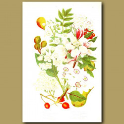 Wild Pear,Crab Apple, Wild Service Tree, True Service Tree, Mountain Ash and White Beam Tree